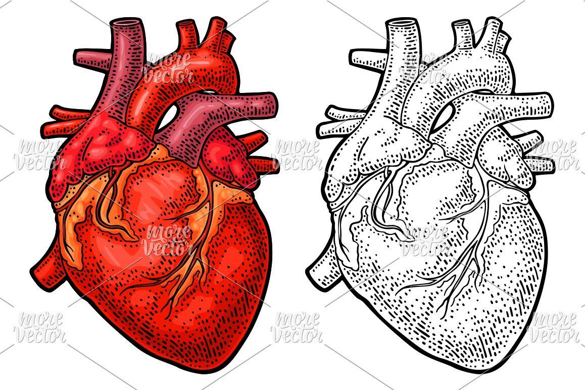 1158x772 Human Anatomy Heart. Vector Black Color Vintage Engraving