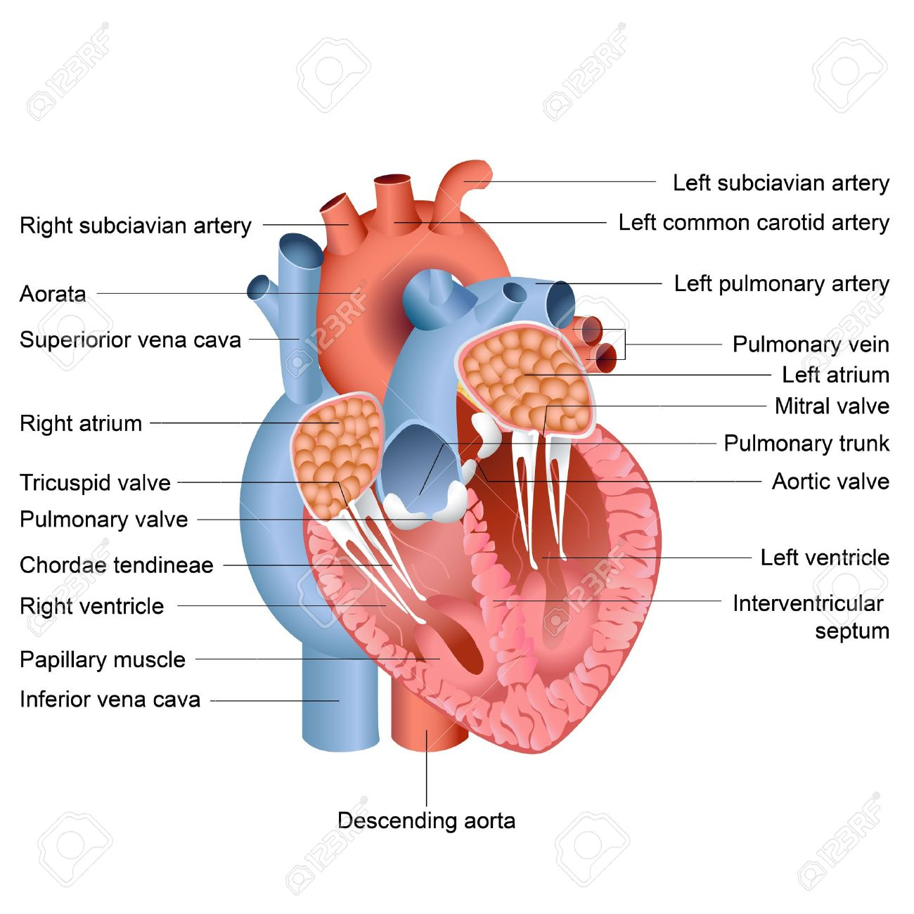 1300x1300 Internal Diagram Of Heart Vector Illustration Of Drawing Of Heart