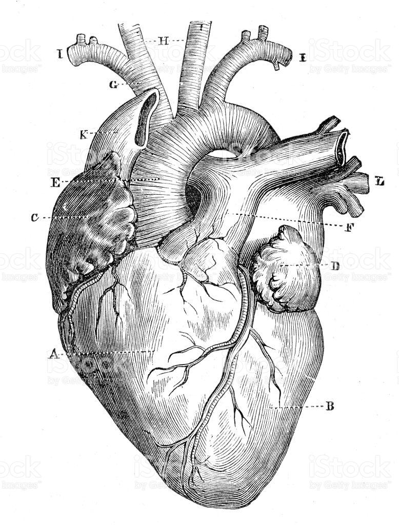 778x1024 Anatomy Heart Vector Human 1888 Stock Art 584492886 Istock