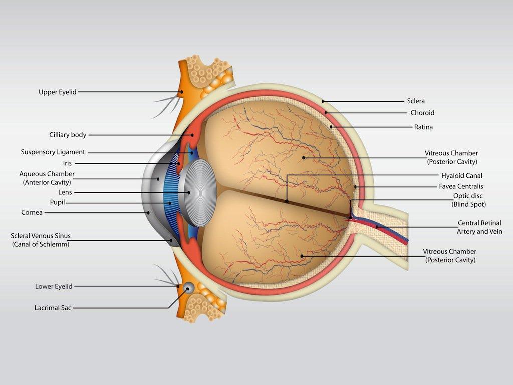 1024x769 Eye Anatomy Vector Vector Art Amp Graphics