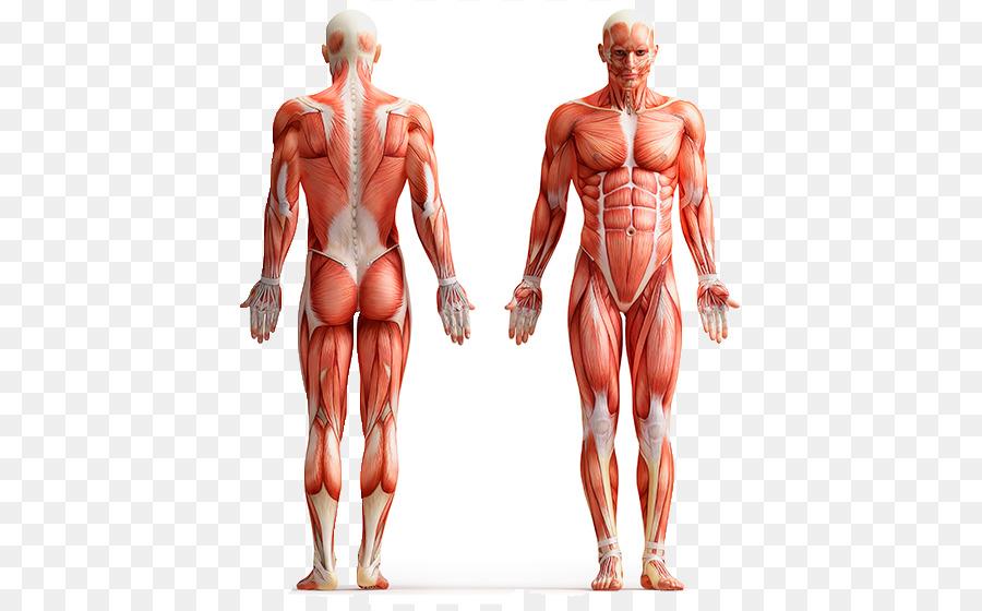 900x560 Human Body Anatomy Vector Graphics Clip Art Human Skeleton