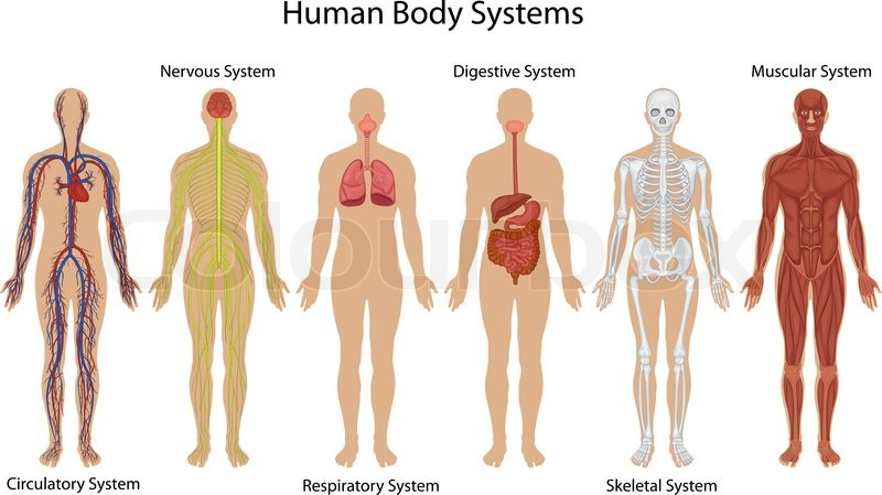 800x449 Human Body Anatomy Stock Vector Colourbox