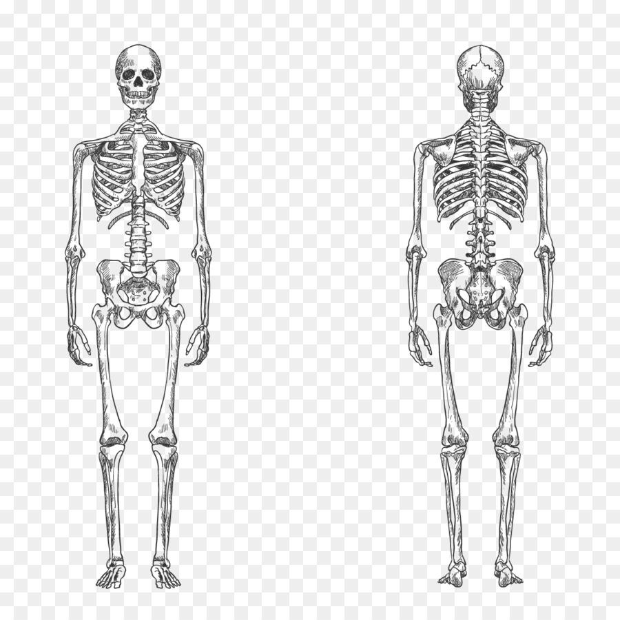 900x900 Human Skeleton Bone Human Body Anatomy