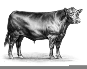 300x238 Black Angus Cattle Clipart Free Images