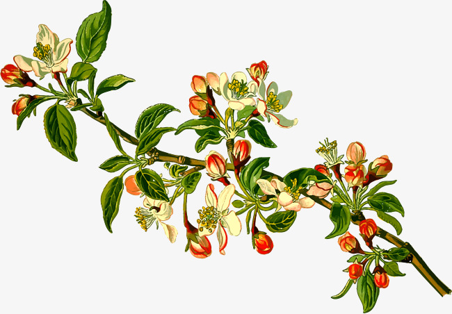 650x452 Apple Blossom Vector Material, Apple Tree, Flowering, Plant Png
