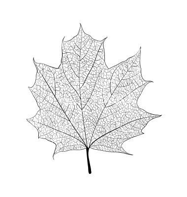 380x400 Aspen Leaf Vector (11 Images)