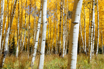 359x240 Aspen Tree Photos, Royalty Free Images, Graphics, Vectors Amp Videos