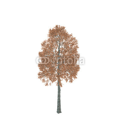 400x400 Aspen Tree. Isolated On White Background. Vector Illustration