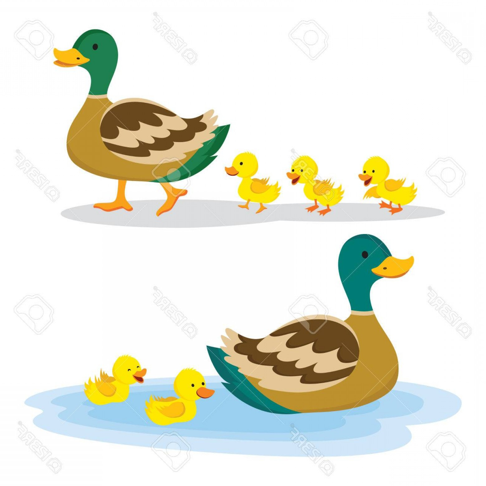 1560x1560 Photostock Vector Mother Duck And Ducklings Mallard Duck And Baby