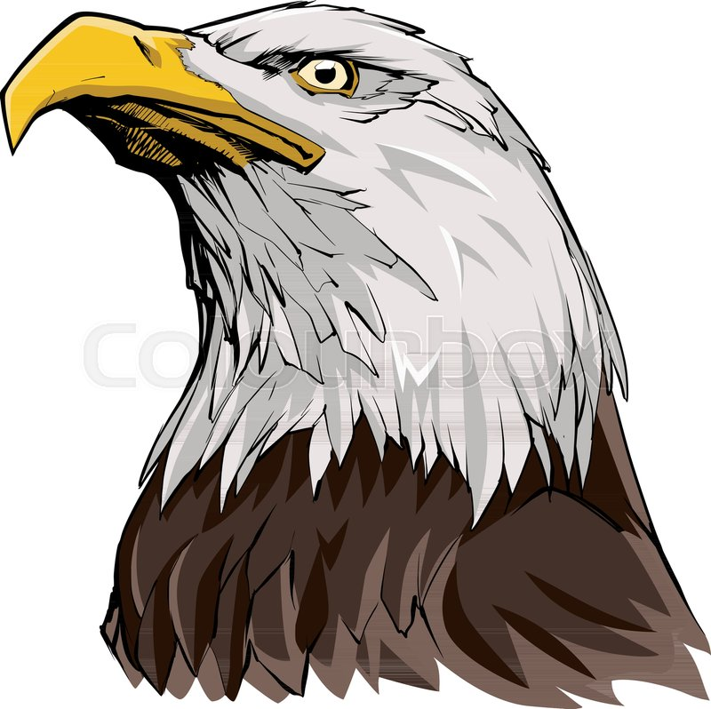 800x798 Portrait Illustration Of North American Bald Eagle. Stock Vector