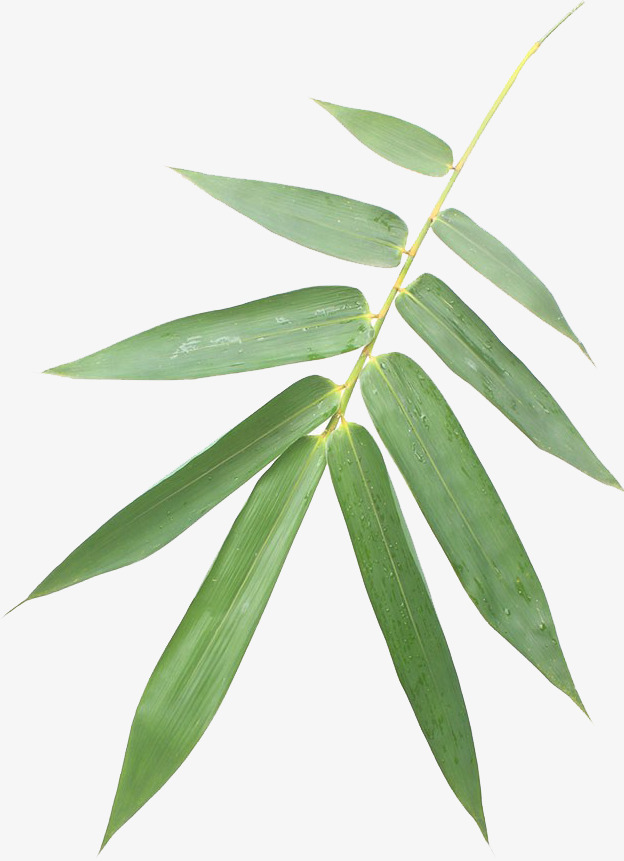 624x861 Bamboo Vector, Bamboo Clipart, Vector Bamboo Leaves, Green Png