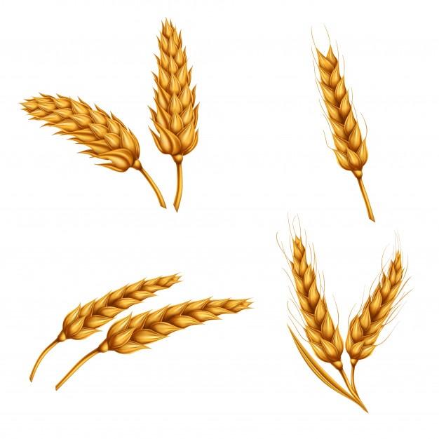626x626 Barley Vectors, Photos And Psd Files Free Download