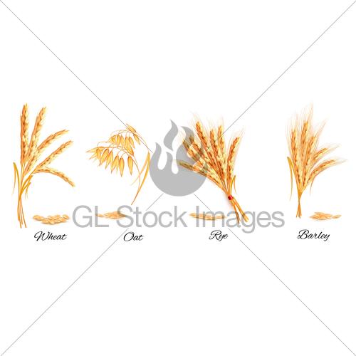 500x500 Ears Of Wheat, Oat, Rye And Barley. Vector Illustration. Gl