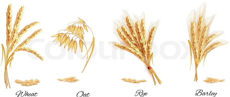 799x338 Ears Of Wheat, Oat, Rye And Barley. Vector Illustration. Stock