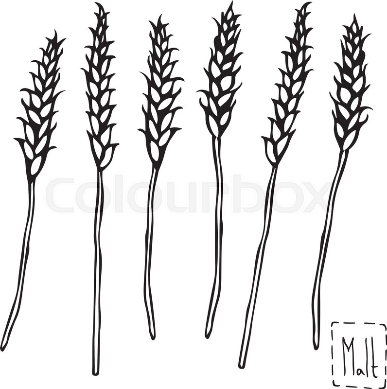 796x800 Hand Draw Vector Sketch Malt. Raw Material For Brewing Ears Of