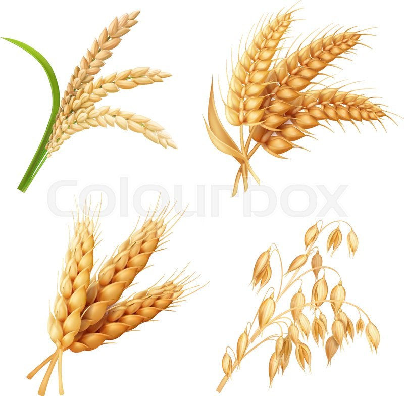 800x784 Agricultural Crops Set Rice, Oats, Wheat, Barley Vector Realistic
