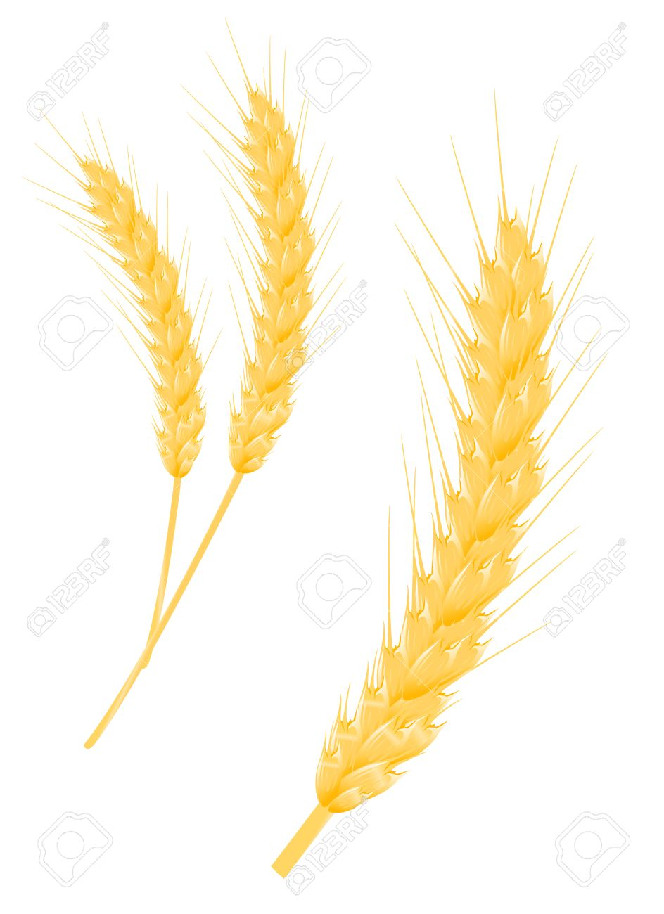944x1300 Barley Clipart Corn Stalk Free Collection Download And Share