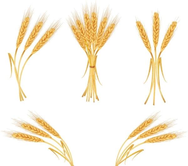 600x530 Barley Clipart Vector