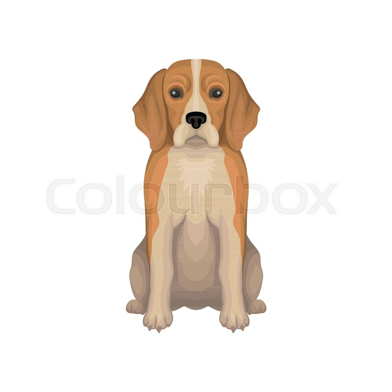 800x800 Colorful Illustration Of Beagle. Small Breed Of Hunting Dog With