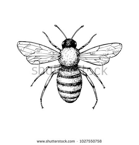 450x470 Honey Bee Drawing 18 Doc Honey Bee Vector Download Free Vector Art
