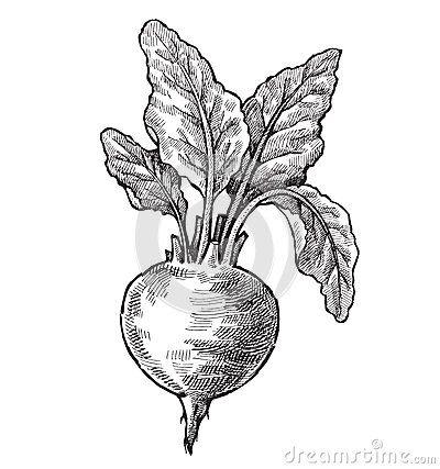 400x427 Vintage Beet Drawing Hand Drawn Beet Vector Black Ink Ideas