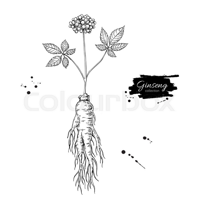 800x800 Ginseng Root And Berry Vector Drawing. Medical Plant Sketch