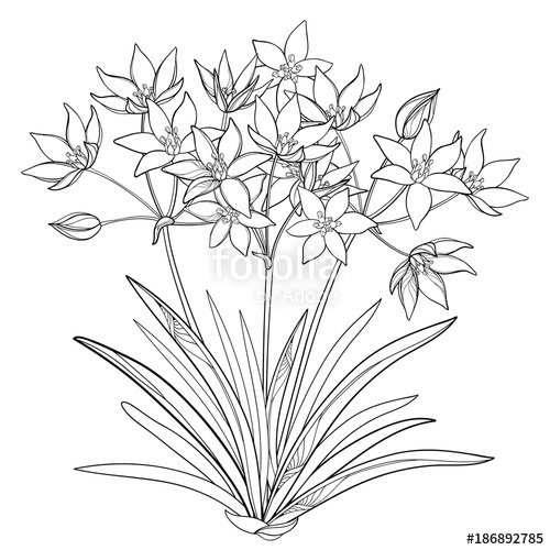 500x500 Vector Bouquet With Outline Ornithogalum Or Star Of Bethlehem