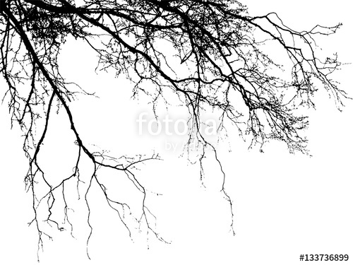 500x375 Realistic Birch Tree Branches Silhouette (Vector Illustration