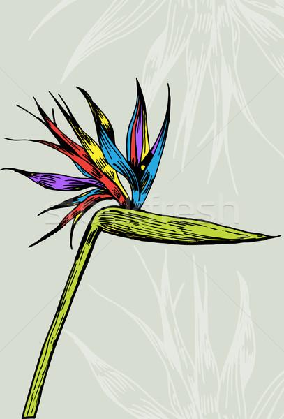 407x600 Bird Of Paradise Vector Illustration John Takai (Cteconsulting