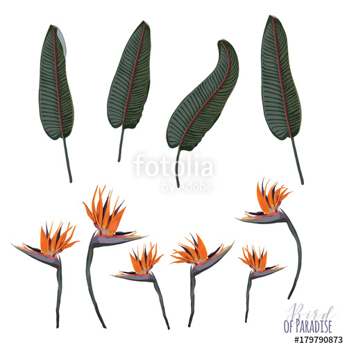 500x500 Bird Of Paradise Vector Elements Stock Image And Royalty Free