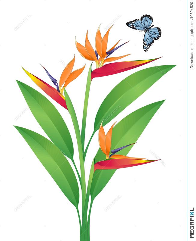 652x800 Bird Of Paradise Vector Art Illustration 10524520