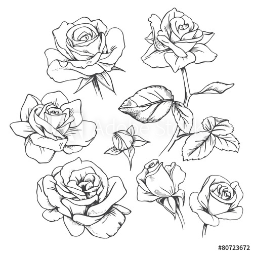 500x500 Set Of Hand Drawn Roses. Vector.
