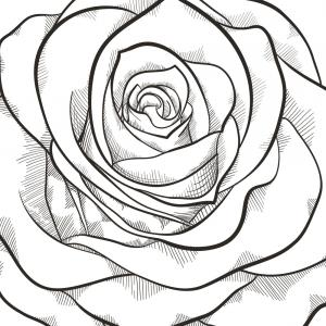 300x300 Black Branch Of Roses Drawing On White Background Gm Orangiausa