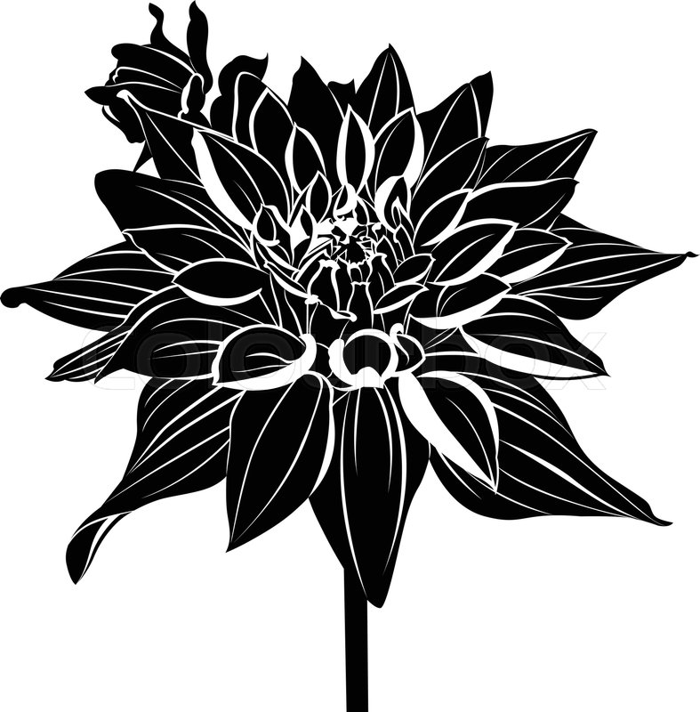 787x800 Dahlias. Vintage Elegant Flowers. Black And White Vector