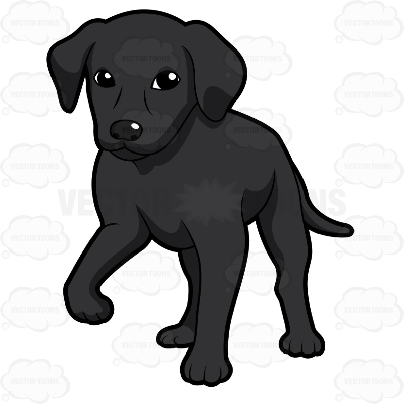 800x800 Black Labrador Puppy Standing With One Paw Off The Ground