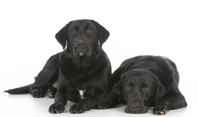 403x240 Black Lab Photos, Royalty Free Images, Graphics, Vectors Amp Videos