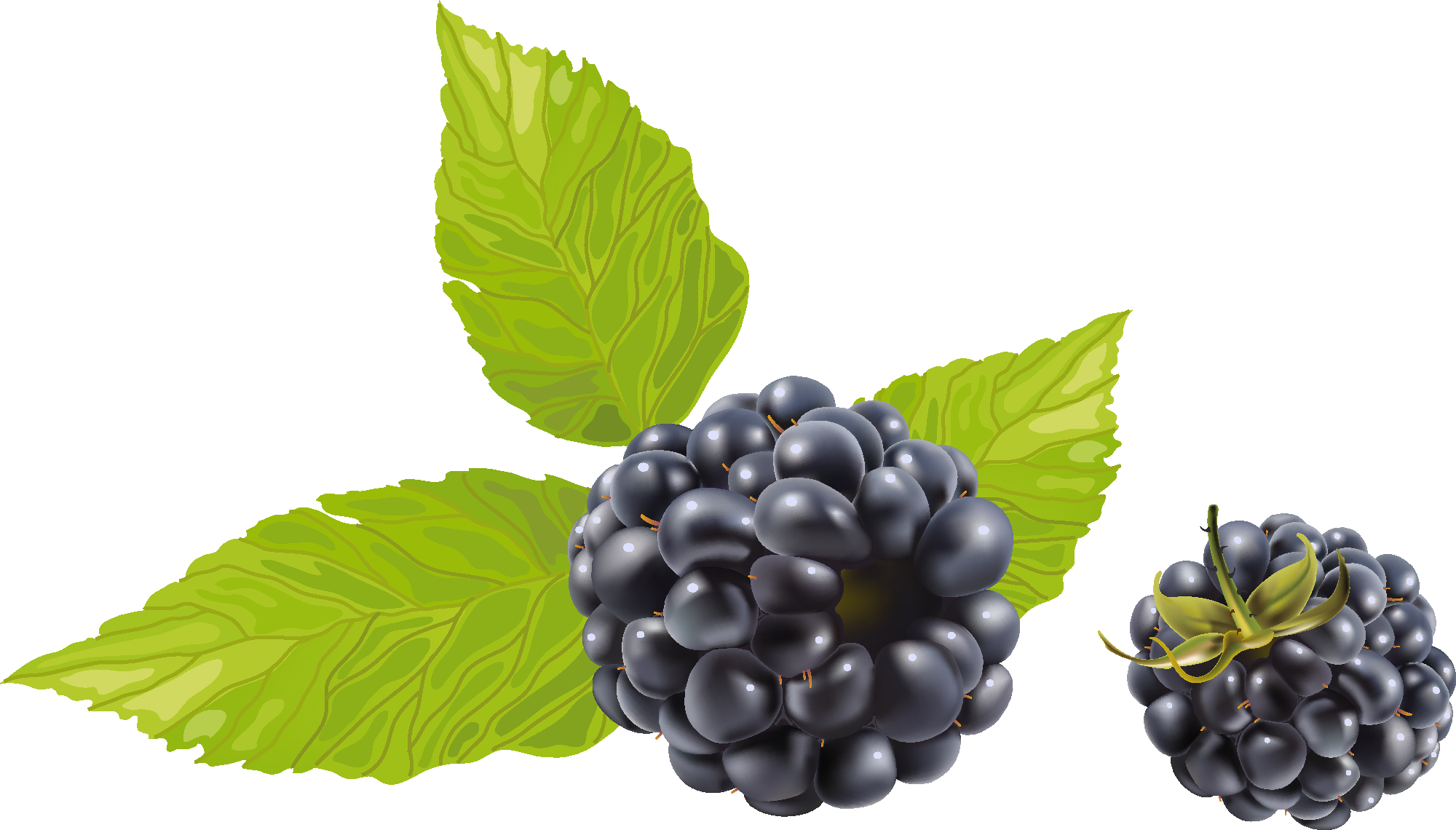 2000x1140 15 Berry Vector Blackberry For Free Download On Mbtskoudsalg
