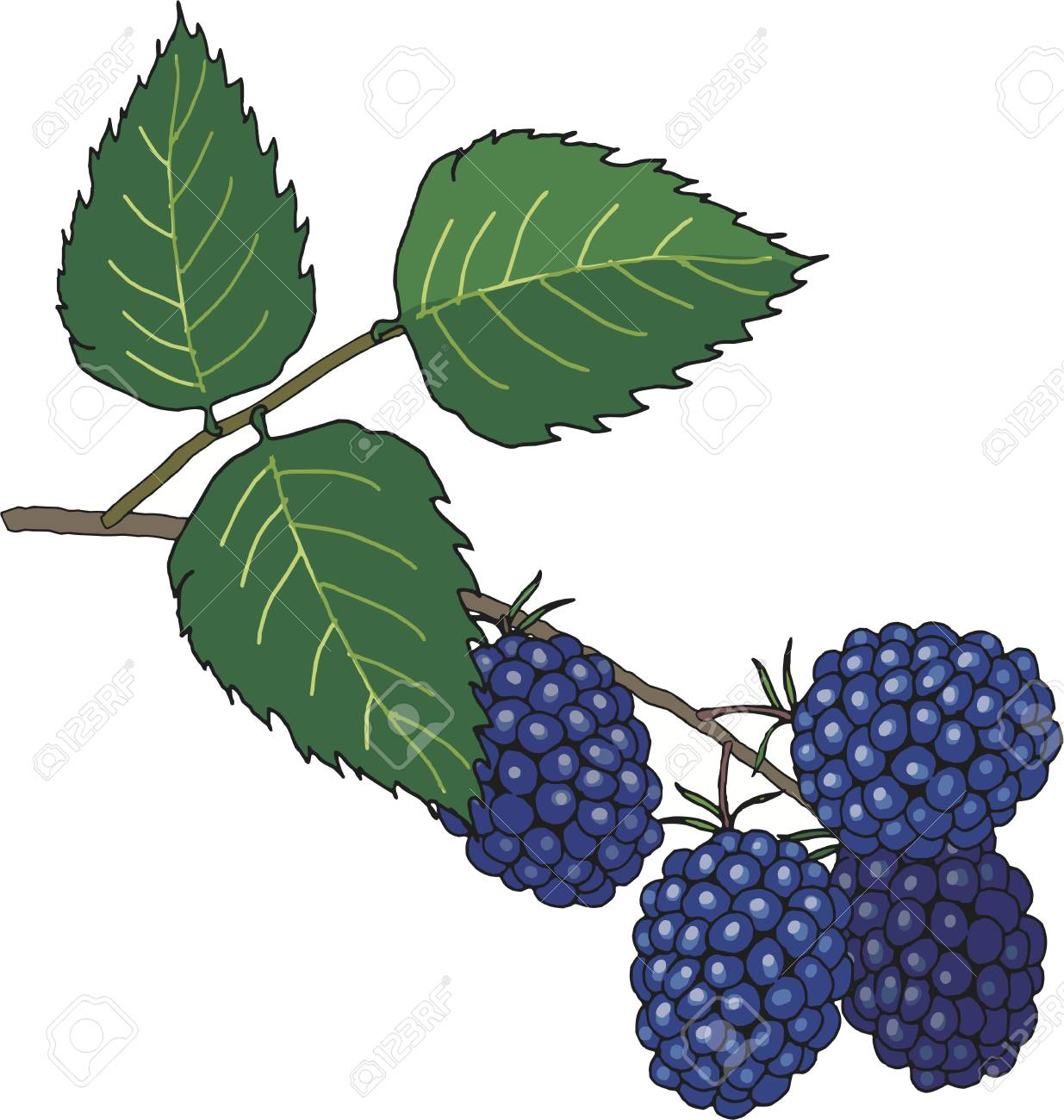 1235x1300 Collection Of Blackberry Drawing High Quality, Free Cliparts