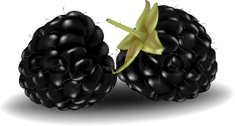 800x429 Photo Realistic Vector Illustration. Two Blackberries. Stock