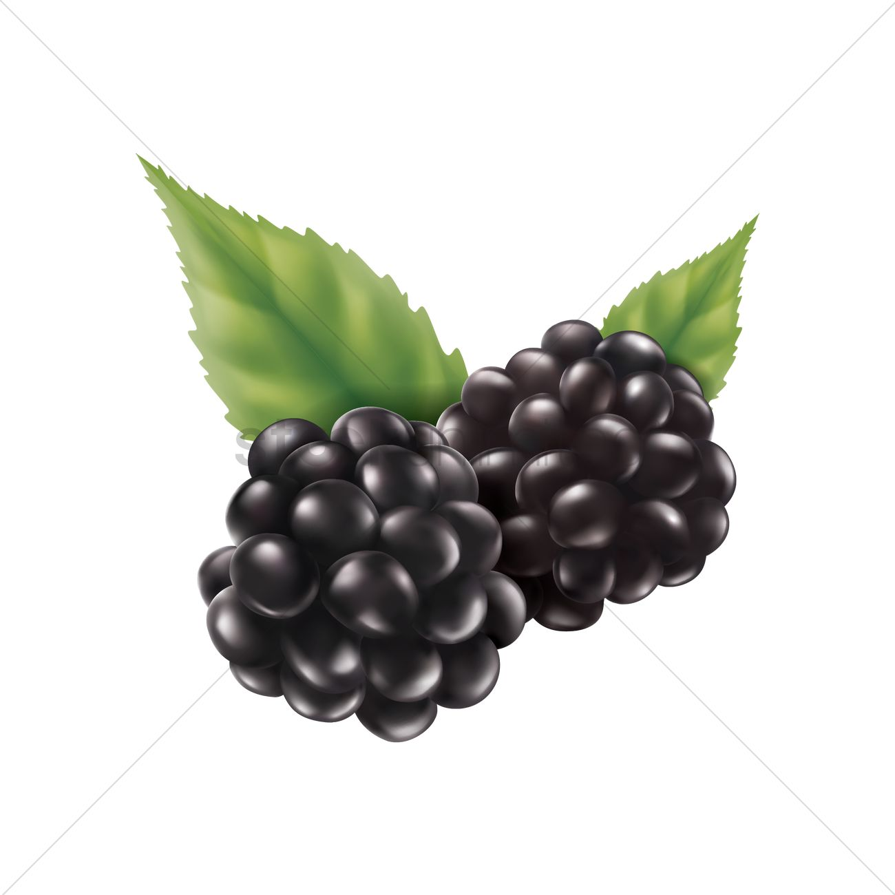 1300x1300 Blackberry Vector Image