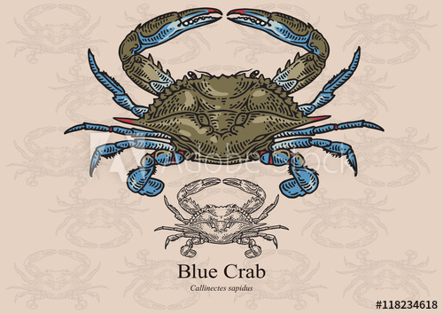 500x354 Blue Crab. Vector Illustration For Artwork In Small Sizes