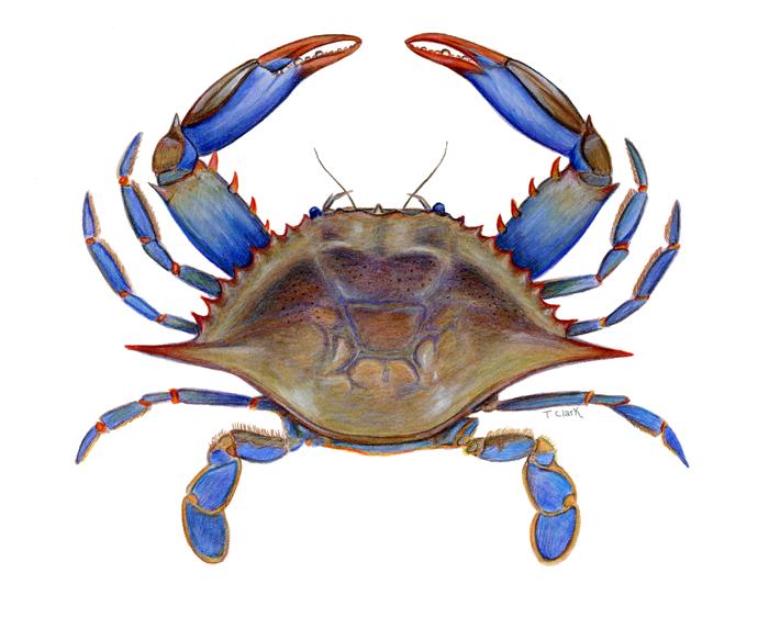 700x563 Crab Clipart Blue Crab