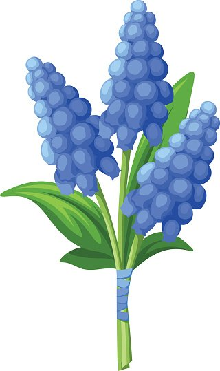 320x539 Bouquet Of Blue Grape Hyacinth Vector Stock Vectors