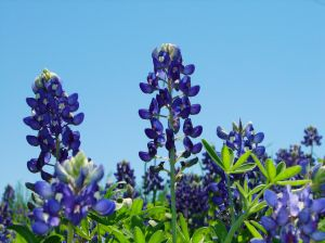 300x224 Texas Bluebonnets Vectors, Photos And Psd Files Free Download