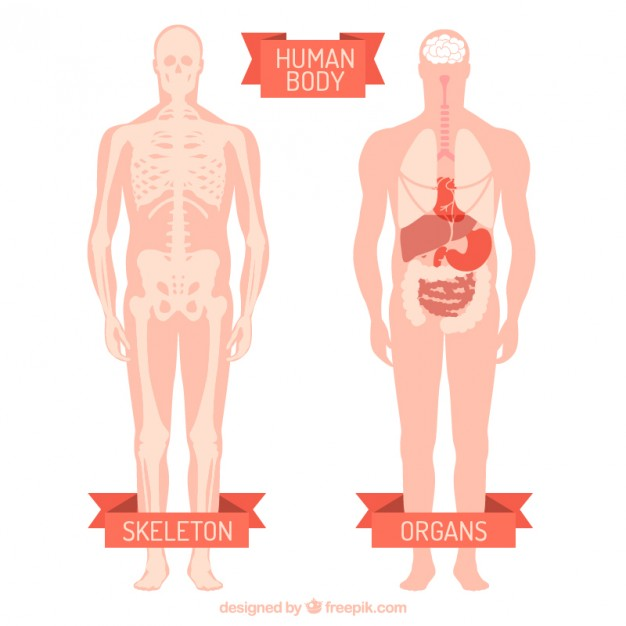 626x626 Human Body Vector Free Download