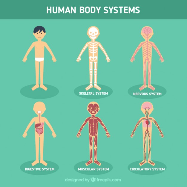 626x626 Human Body Systems Vector Free Download