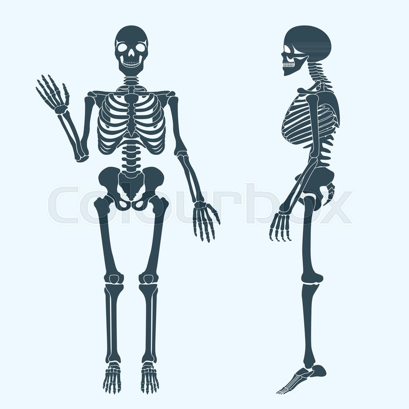 800x800 Human Bones Skeleton Silhouette Vector. Anatomy Of Human Body