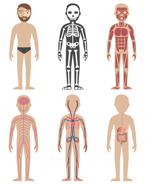 626x782 Anatomy Vectors, Photos And Psd Files Free Download