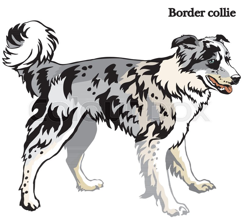 800x720 Portrait Of Standing In Profile Dog Border Collie (Blue Merle