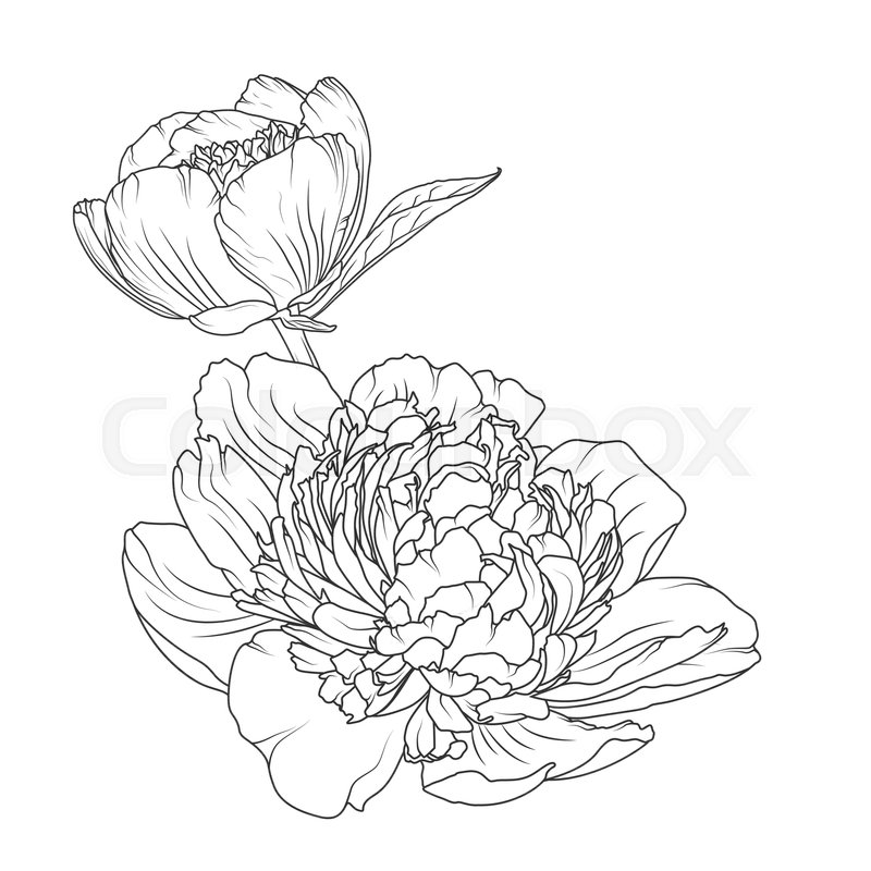 800x800 Peony Rose Blooming Garden Flowers Detailed Outline Sketch Drawing